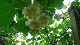0530キウイの花.jpg